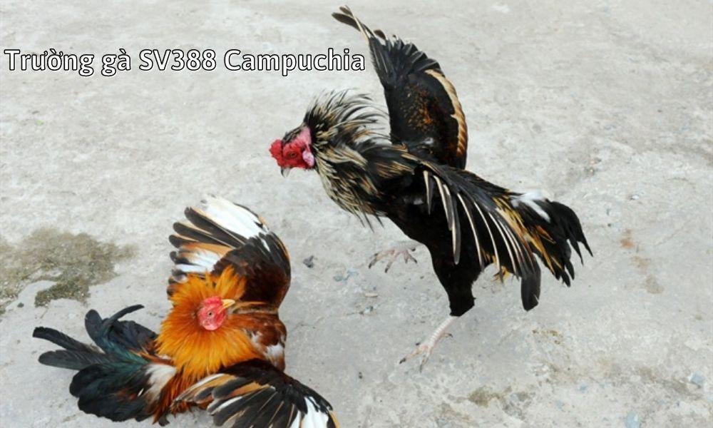 Trường gà SV388 Campuchia